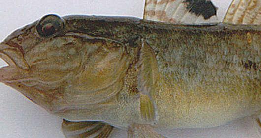 ryby Polska babka bycza
