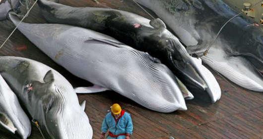Populacja wielorybów zagrożona? Japoński rząd twierdzi, że zabijanie wielorybów to ich kultura. Japońska kuchnia potrzebuje tego mięsa? Ekolodzy protestują