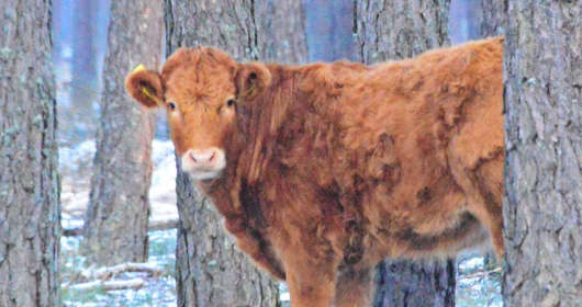 Lasy w okolicach Wdzydz Tucholskich na Pomorzu. Ta krowa nie chce najwyraźniej skończyć jako stek lub kotlety mielone. Wybrała wolność i uciekła do lasu.
