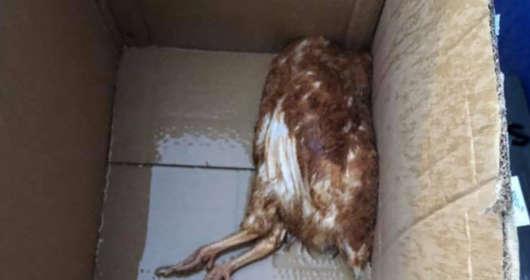 Ekostraż informuje, że ktoś wysyłał zywe zwierzęta poczta. Setki kur przesłano w kartonach, wiele umarło. Sortownia Poczty Polskiej wiedziała o zywych kurach?