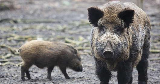 Masowe polowania na dziki w Polsce - czy populacja dzika w Polsce zostanie całkowicie zlikwidowana. Wszystko w ramach walki z ASF (afrykański pomór świń)