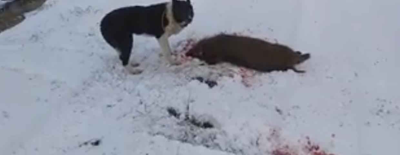 Epidemia ASF (afrykański pomór świń) ma być zatrzymana przez polowania na dziki. Nie pomogły protesty. Odstrzał dzików w Polsce rozpoczęty, myśliwi już zabijają