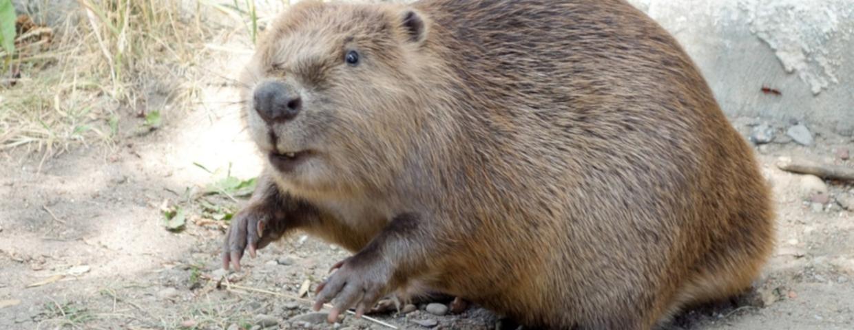 Ośrodek Sportu i Rekreacji w Suwałkach - rozpocznie się polowanie na bobry, bo powodują zniszczenie. Czy jak dziki będzie to zagrożony gatunek w Polsce?