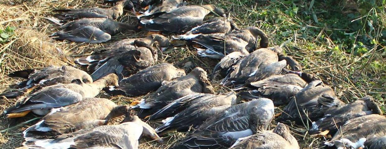 Zalew Wiślany i polowanie na ptaki - myśliwi urządzili rzeź. Czy mieli pozwolenie na taki odstrzał?