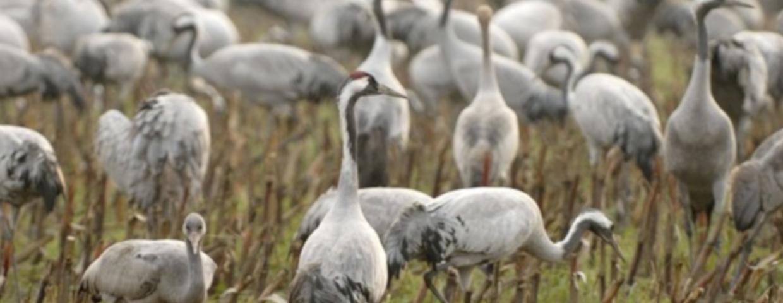 Poseł Jan Dziedziczak (Prawo i Sprawiedliwość), chce by żurawie (ptaki chronione w Polsce)  traktowac jako zwierzęta łowne. Szykują się polowania na ptaki?