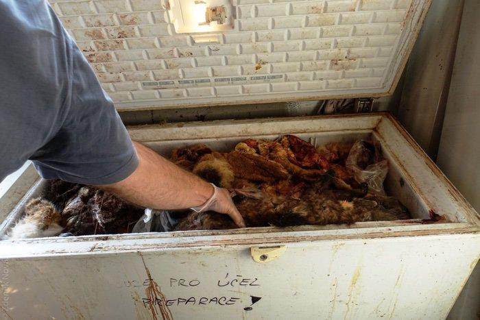 Nielegalna hodowla zwierząt 0 tygrysy mordowane na futra i handel organami w Czechach (Praga)
