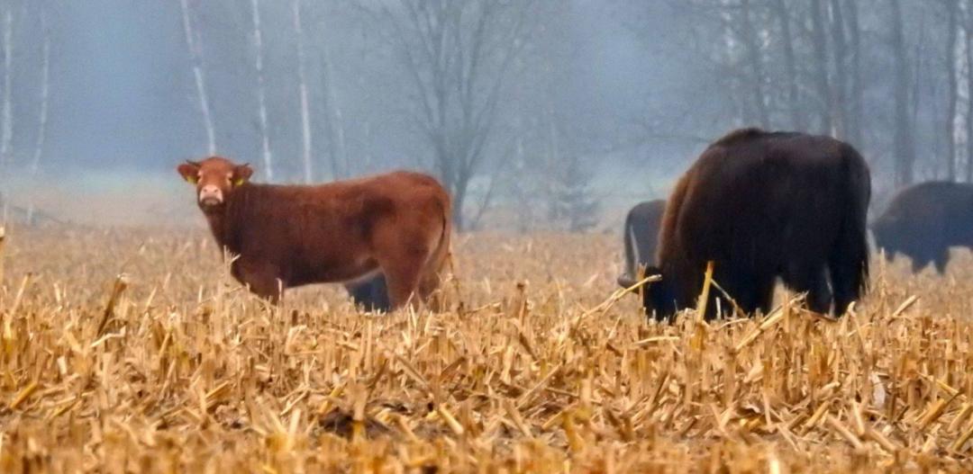 Krowa w stadzie żubrów