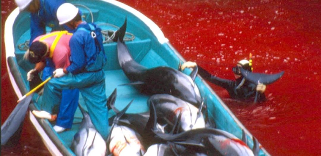 Polowanie na delfiny w Japonii